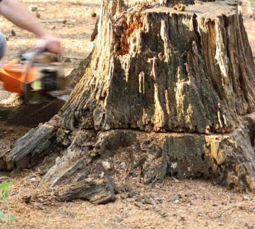 Stump Removal-Haines City FL Tree Trimming and Stump Grinding Services-We Offer Tree Trimming Services, Tree Removal, Tree Pruning, Tree Cutting, Residential and Commercial Tree Trimming Services, Storm Damage, Emergency Tree Removal, Land Clearing, Tree Companies, Tree Care Service, Stump Grinding, and we're the Best Tree Trimming Company Near You Guaranteed!